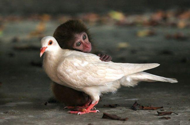 monkey_pigeon